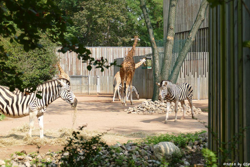 Chapman-Steppenzebra, Kardofan-Giraffe