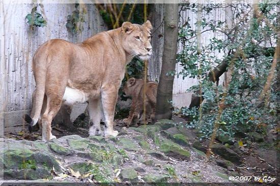 Löwin ZETA aus dem Zoo Givskud/DK, geb. 21.3.98 mit einem ihrer 3 Jungtiere
