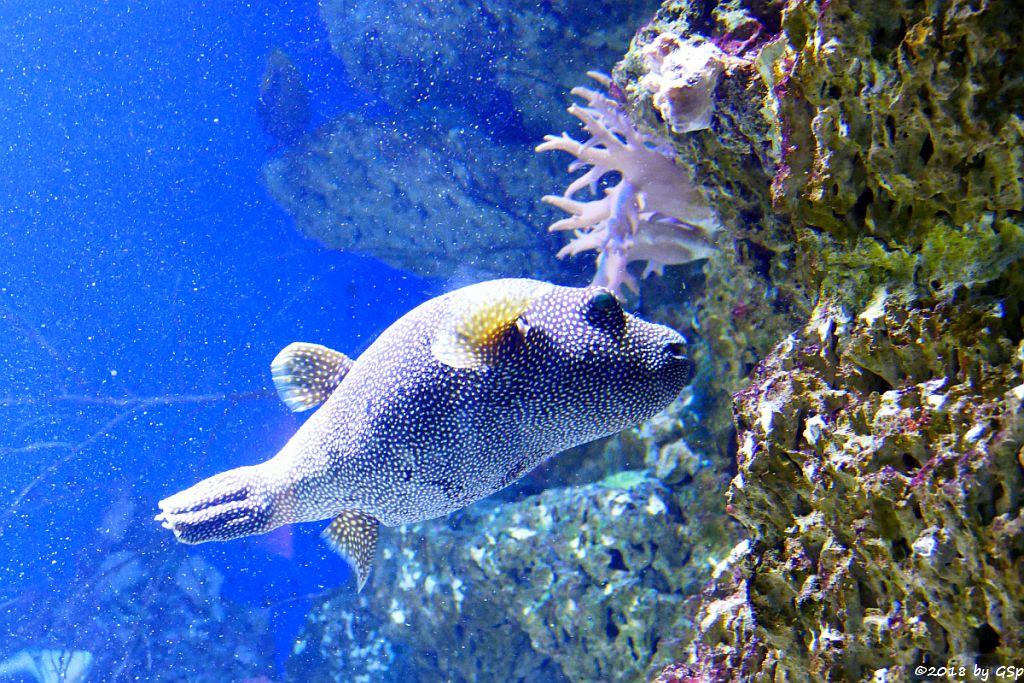 Sternenkugelfisch (Perlhuhn-Kugelfisch)
