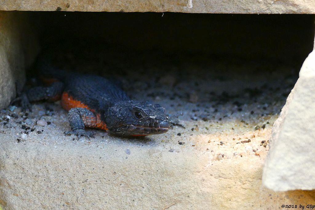 Gorongosa-Gürtelschweif (Mosambik-Gürtelschweif)