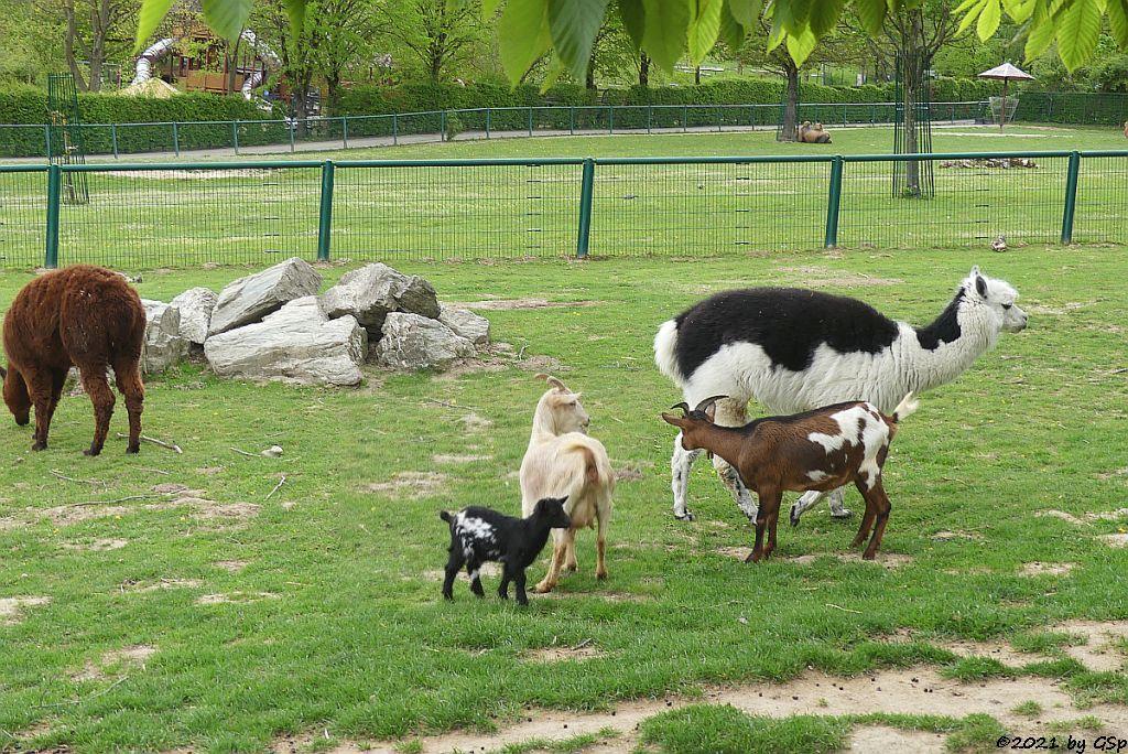 Alpaka, Afrikanische Zwergziege (Westafrikanische Zwergziege, Kamerun-Zwergziege)