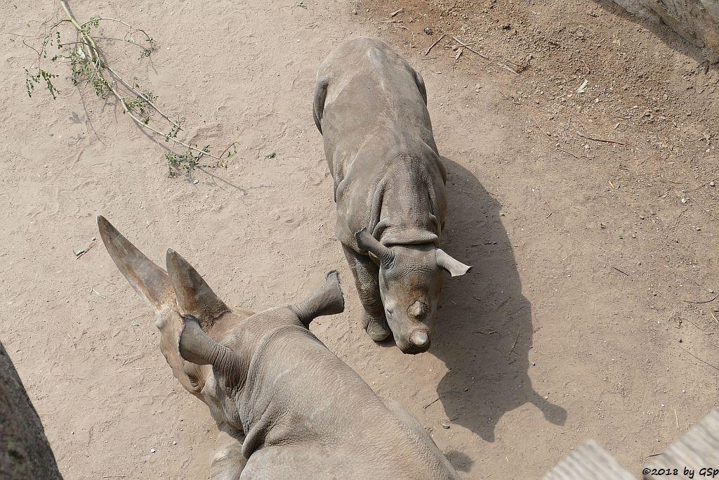 Spitzmaulnashorn (Spitzlippennashorn, Doppelnashorn) SABA mit Sohn SUDAN, geb. am 5.12.17