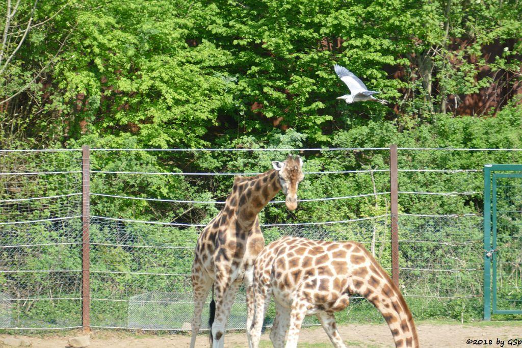 Rothschildgiraffe (Uganda-Giraffe, Baringo-Giraffe), Graureiher (Fischreiher)