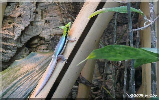 Blaue Bambusphelsume