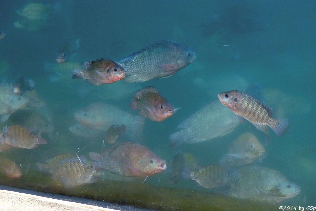 Niltilapia im Flusspferdbecken