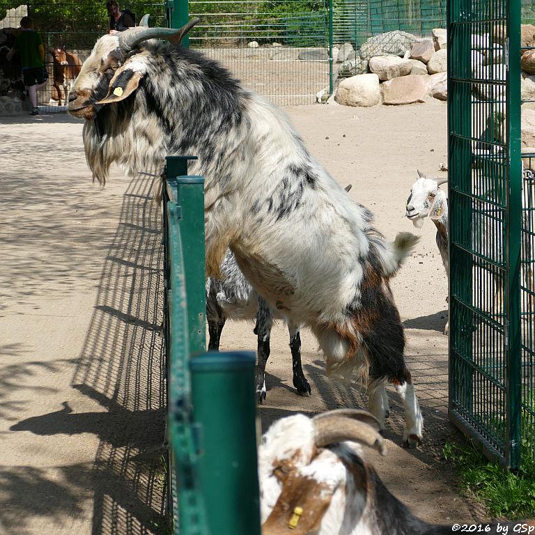Damara-Ziege (Hängeohrziege), Zwerg-Zebu