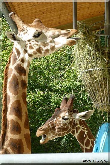 Chapman-Zebra, Rothschild-Giraffe und Netzgiraffe