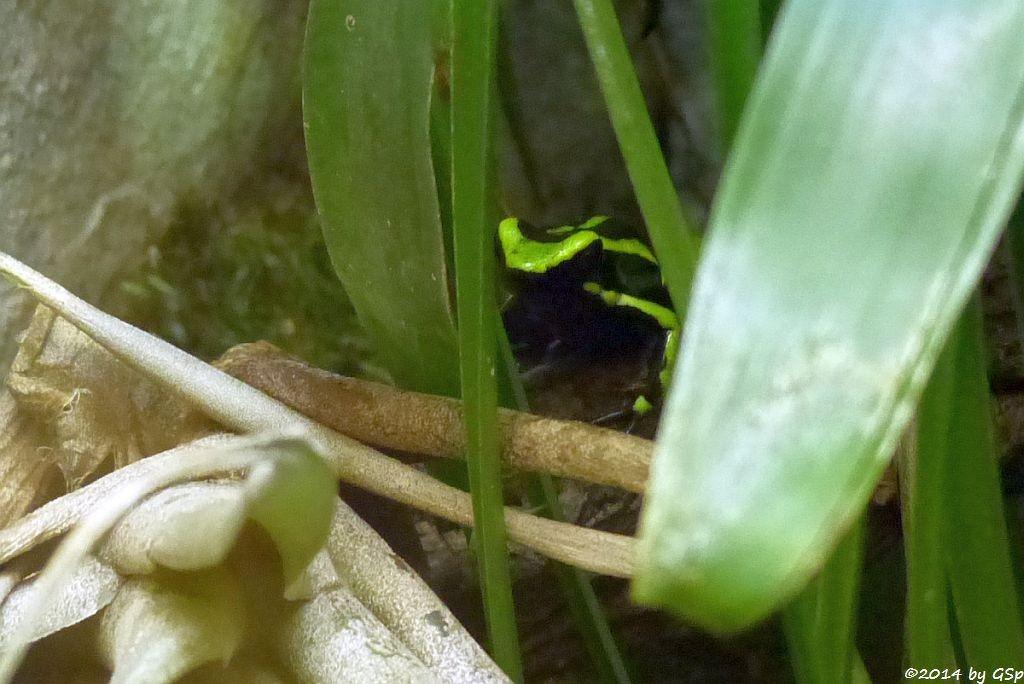 Grüner Riesengiftfrosch