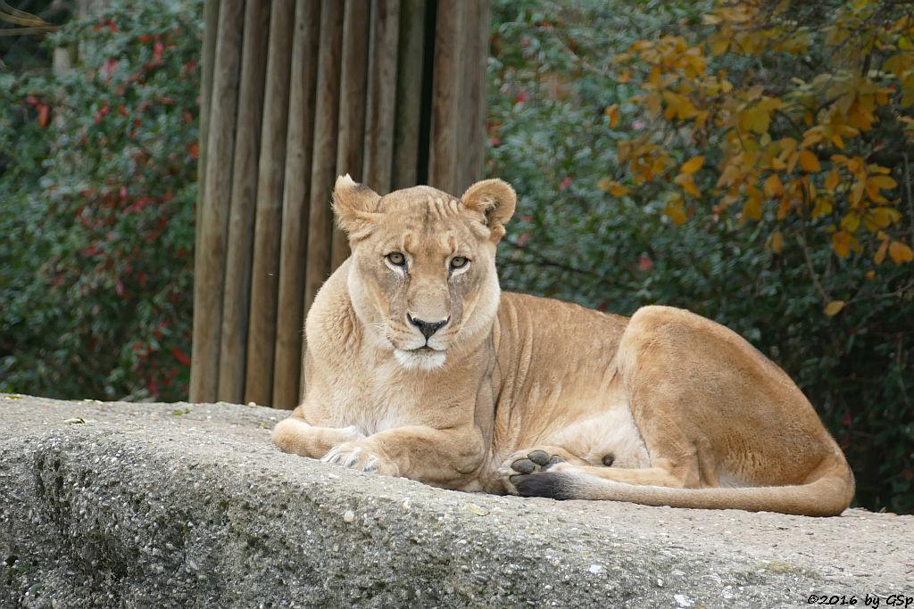 Kalahari-Löwe (Etoscha-Löwe, Wüstenlöwe)