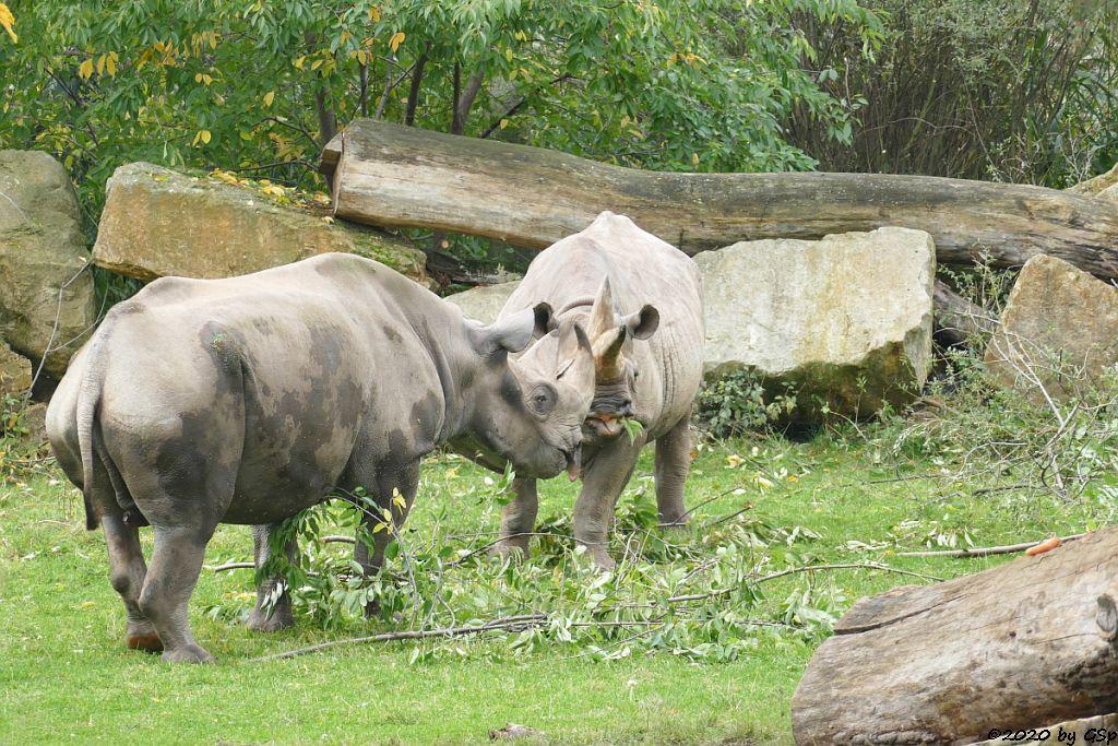 Ostafrikanisches Spitzmaulnashorn (Östliches Spitzmaulnashorn) NDUGU ( † 4.2.21) und SABA