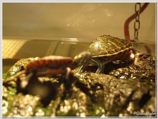 Langhals-Schmuckschildkröte