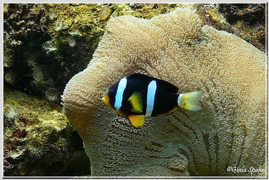 Weißbinden-Anemonenfisch