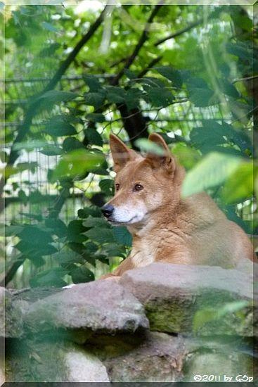 Australischr Dingo