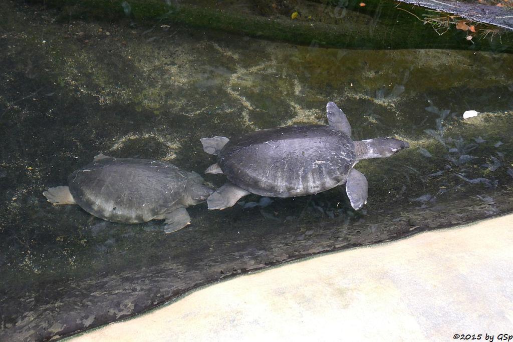 Neuguinea-Weichschildkröte