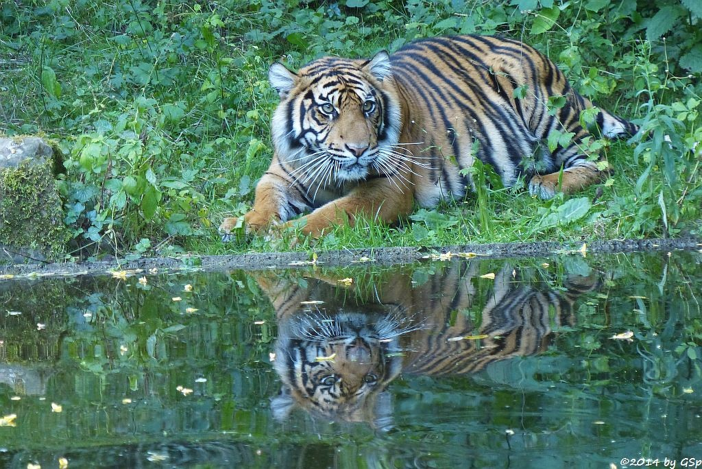 Sumatratiger BERANI