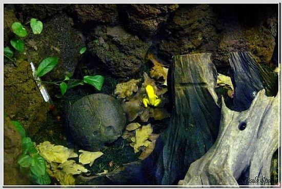 Goldener Pfeilgriftfrosch