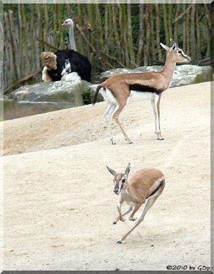 Thomson-Gazelle und Blauhalsstrauß