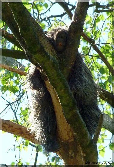 Nordamerikan. Baumstachler (Urson)