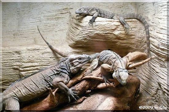 Kuba-Leguan