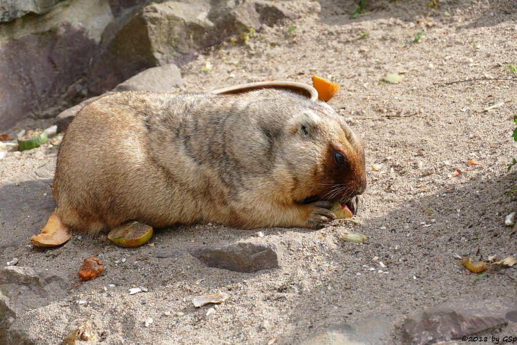 Bobak (Steppenmurmeltier)
