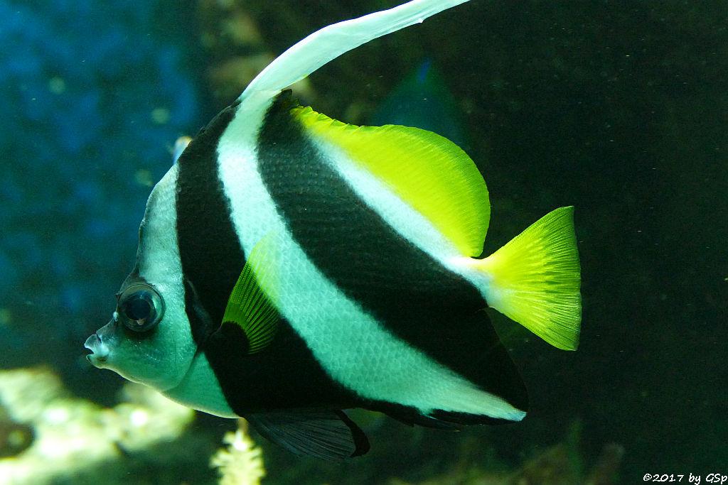 Spitzschnauziger Wimpfelfisch (Gemeiner Wimpfelfisch, Geißler)