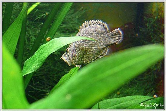 Blattfisch
