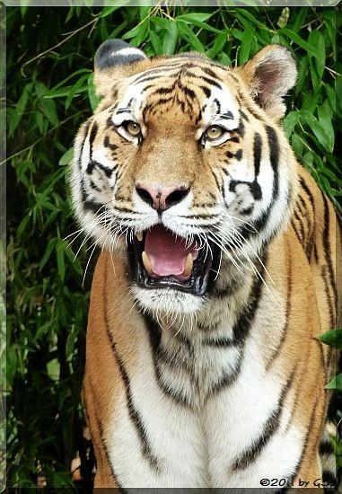 Sibirischer Tiger JANTAR