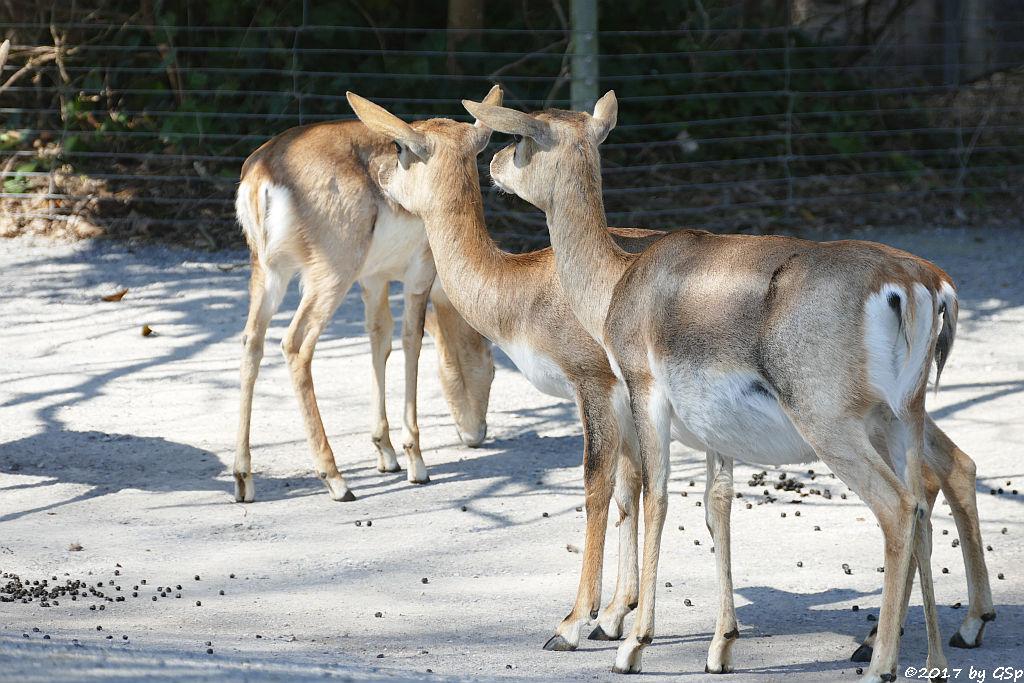 Hirschziiegenantilope