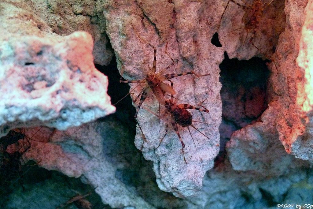 Ostafrikanische Höhlengrille