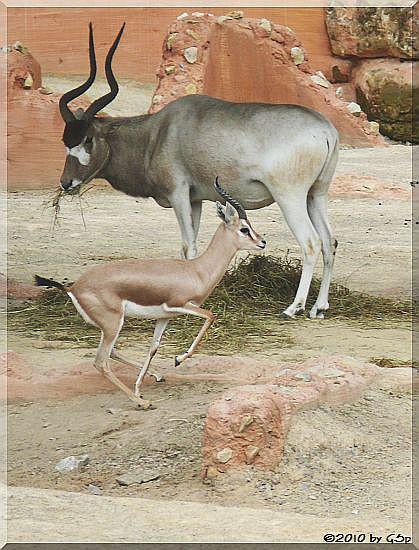 Addax (Mendesantilope) und Dorkasgazelle