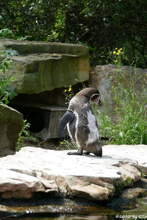 Humboldtpinguin