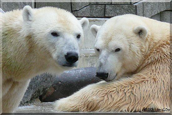 Eisbärin VILMA (aus Rostock) und Eisbär LARS (Vater von Knut) - 38 Fotos