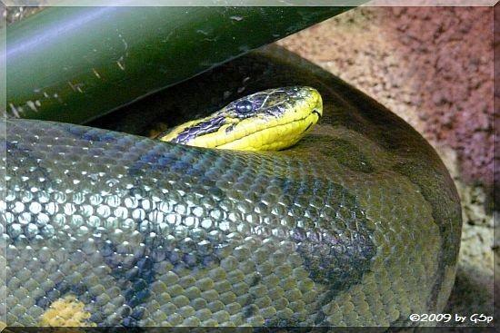 Große Anakonda u. Kopf der Gelben Anakonda