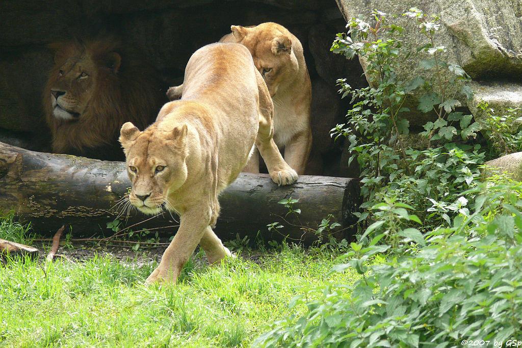 Löwe ARAMIS mit INKA und TOMBI