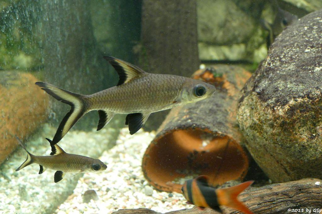 Haibarbe (Gelbschwanz-Haibarbe, Glühschwanzhaibarbe), Prachtschmerle