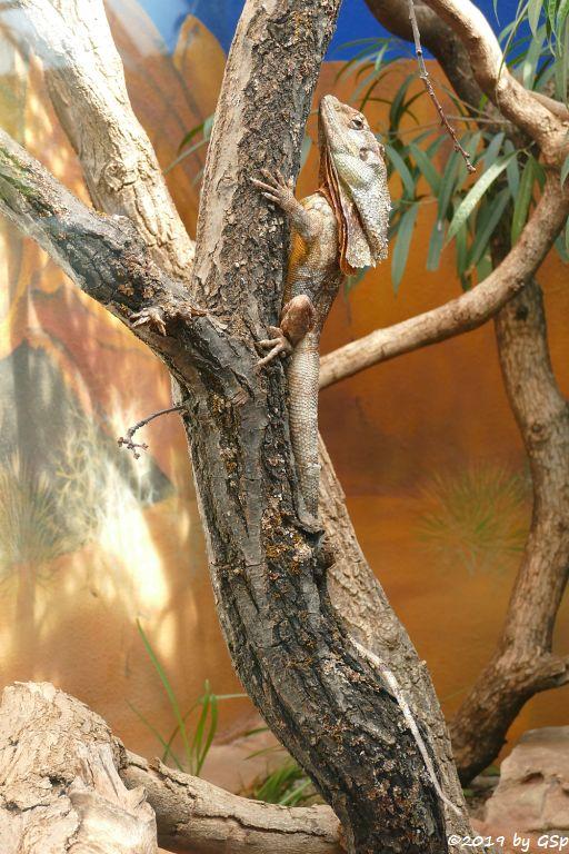 Kragenechse (Kragenagame)
