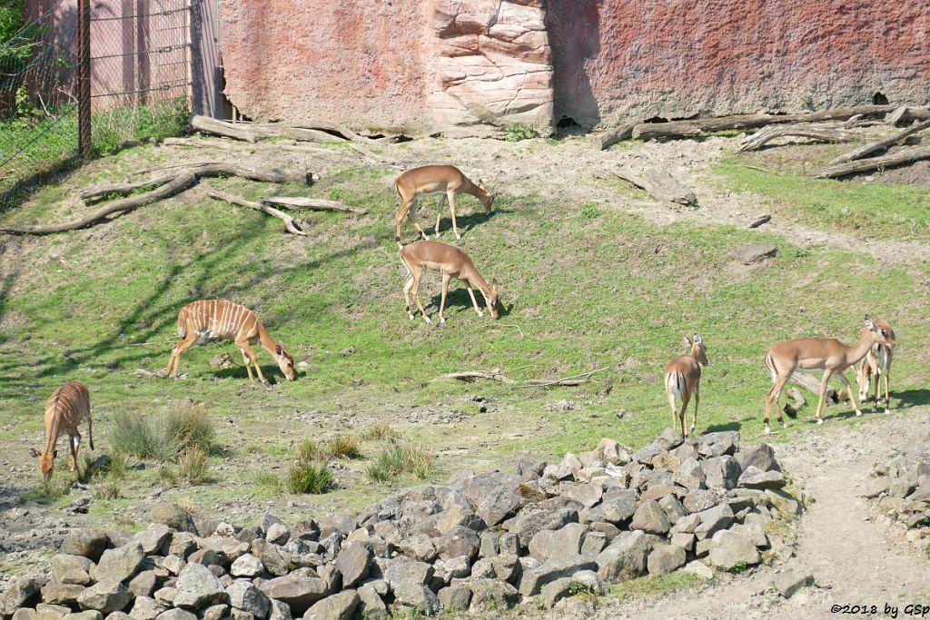 Nyala (Tieflandnyala, Flachlandnyala), Gewöhnliche Impala (Schwarzfersenantilope)
