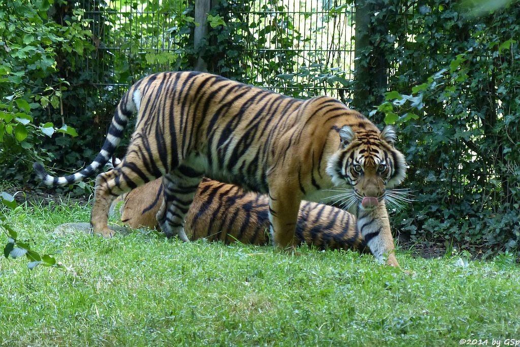 Sumatratiger BERANI und DJHALA