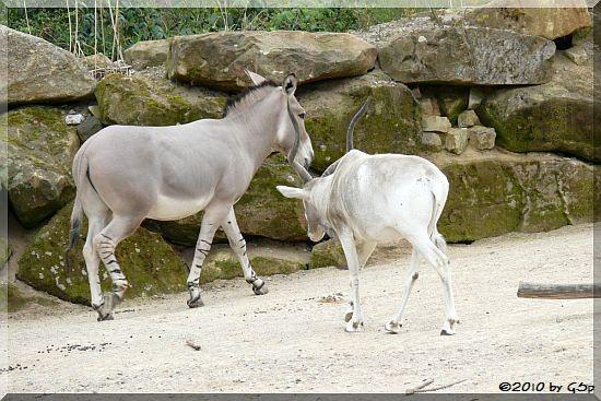 Somali-Wildesel und Addax (Mendesantilope)