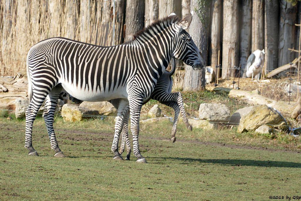 Grévy-Zebra, Afrikanischer Marabu