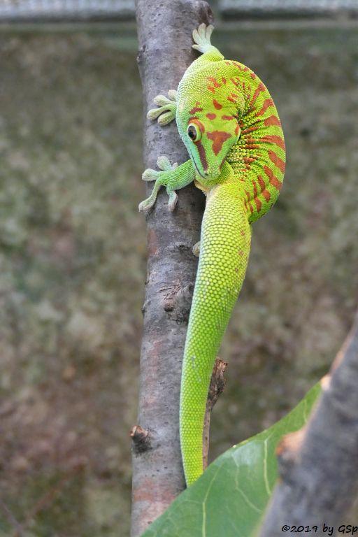Großer Taggecko (Großer Madagaskar-Taggecko)