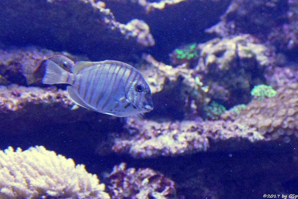 Schwarzstreifen-Doktorfisch