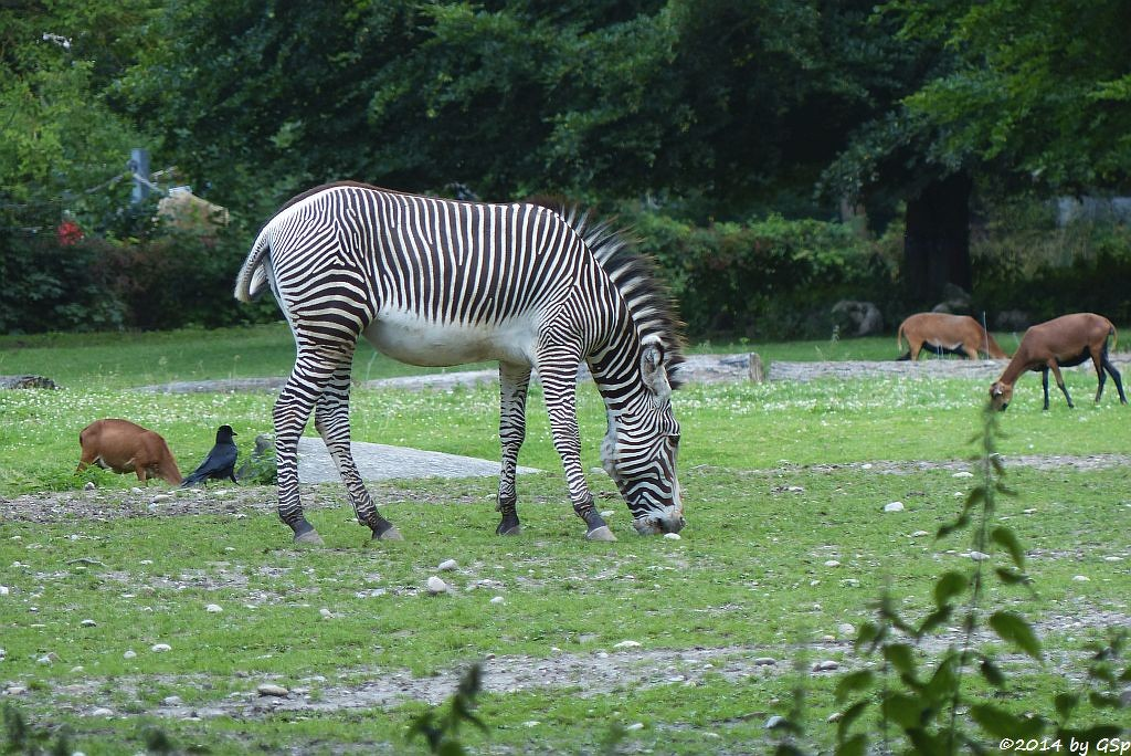Grévy-Zebra, Kamerunschaf