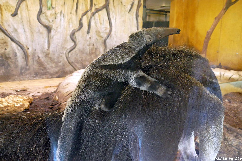 Große Ameisenbärin GUAPA mit ihrem Sohn, geb. 22.2.16  (5 Wochen alt)