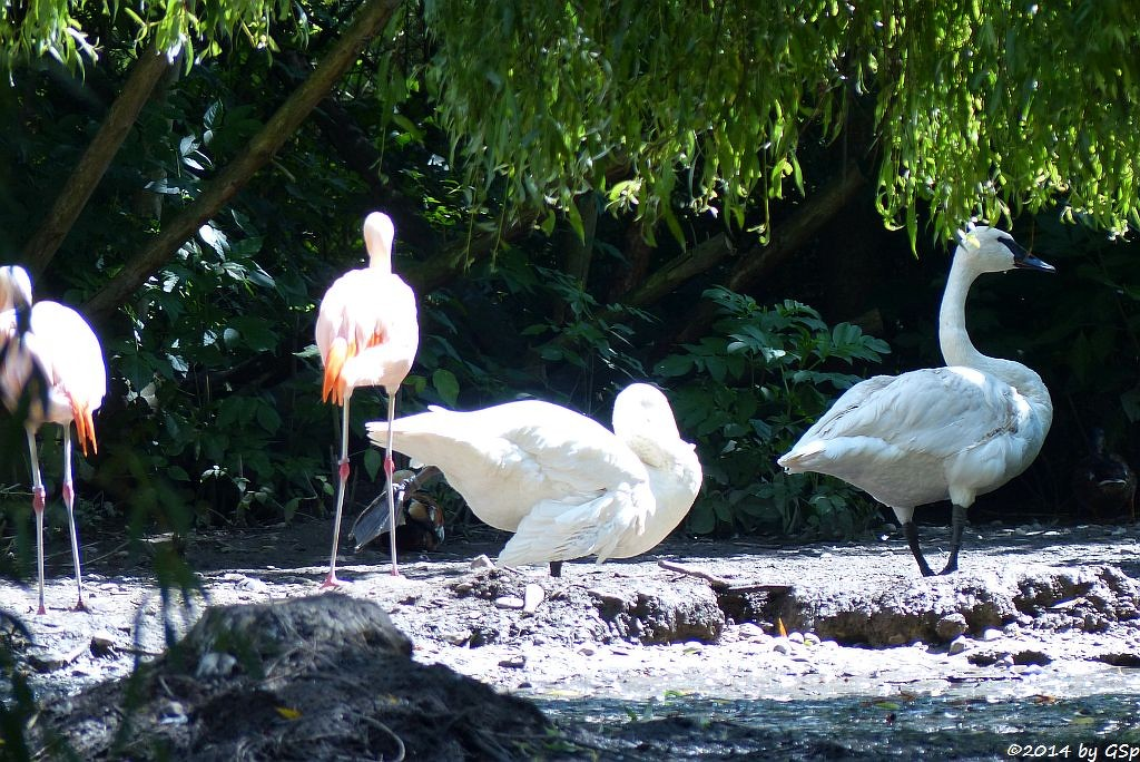 Chileflamingo, Trompeterschwan