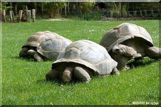 Seychellen-Riesenschildkröte