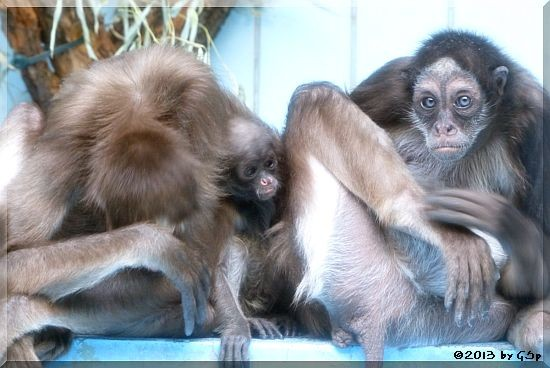 Goldstirnklammeraffe OCANA mit ihrem Baby und SHAKIRA