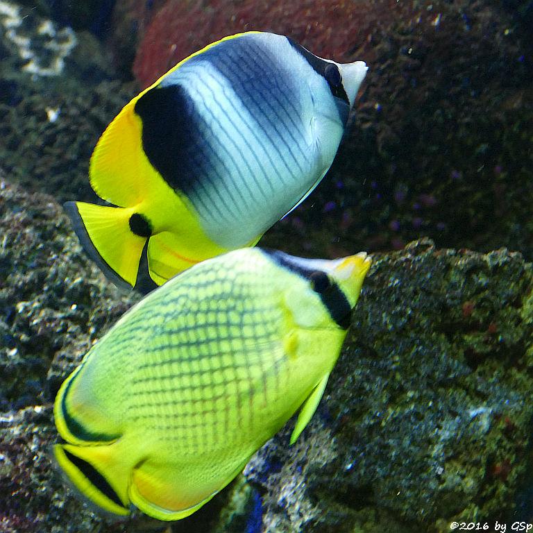 Keilfleck-Falterfisch, Großschuppen-Faltrerfisch