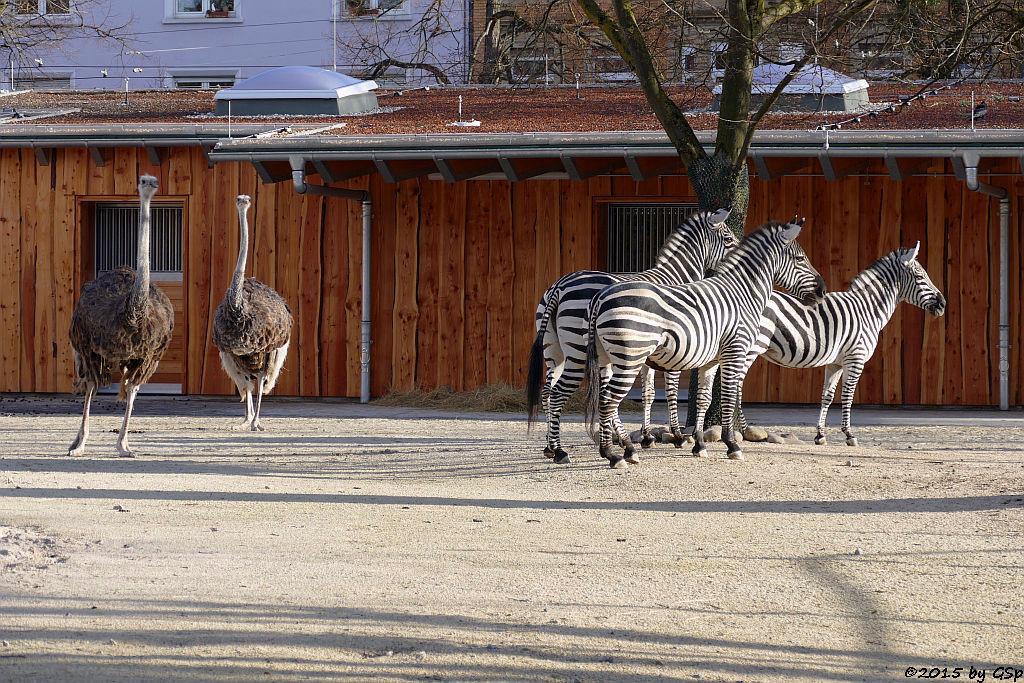 Blauhalsstrauß, Böhm-Steppenzebra (Granz-Zebra)