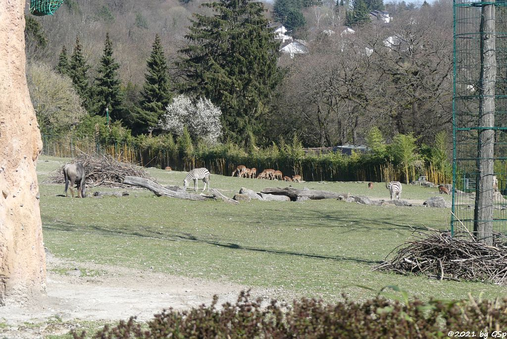 Südliches Streifengnu (Blaues Gnu), Böhm-Steppenzebra (Grant-Zebra), Impala (Schwarzfersenantilope)